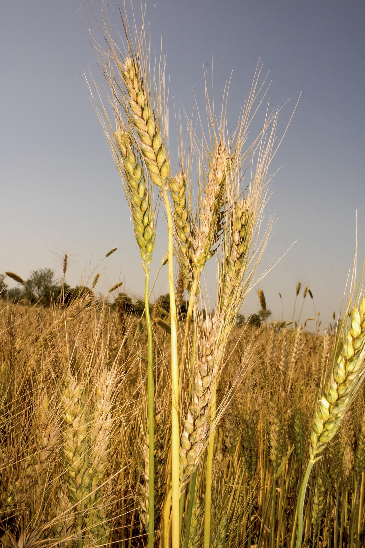 Epi de blé en gros plan dans un champ de blé