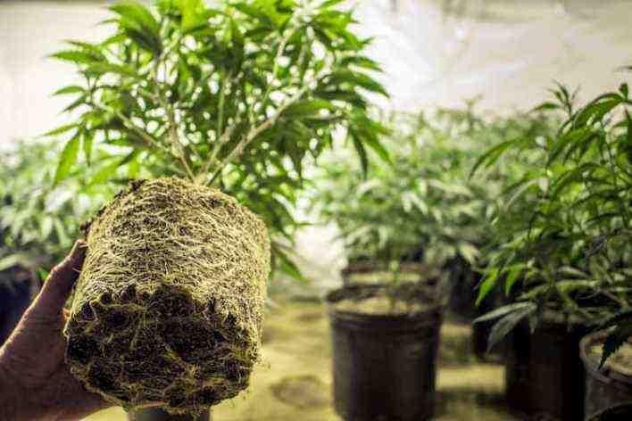 Est-il possible de cultiver du chanvre en France ?